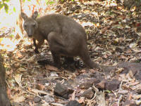 Wallaby at Nourlangie Kakadu Tour