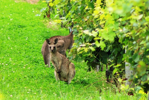 Wild kangaroos in vineyards
