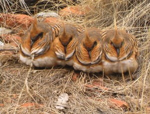 Spinifex Pigeons Kings Canyon MacDonnell Ranges Kings Canyon Tour from Uluru Ayers Rock