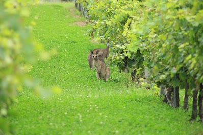 Eastern Grey Kangaroos Hunter Valley Tour