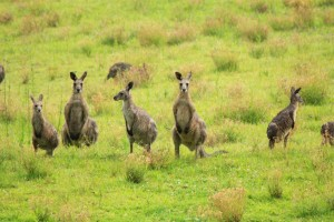 Wild Kangaroos on Hunter Valley Tour
