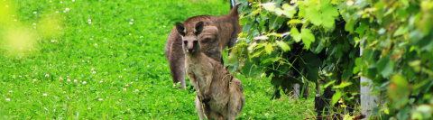 Kangaroos-Vineyards-Wide