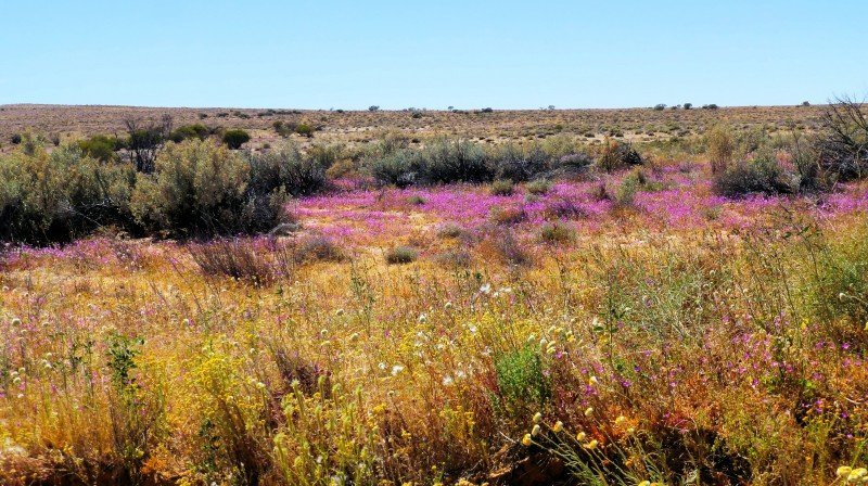 Simpson Desert wildflowers tours